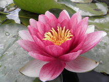 Pink water lily in bloom. Pink water lily flower in bloom on lily pads Royalty Free Stock Photo