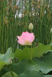 Pink water lily in bloom royalty free stock photo