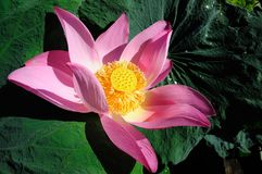 Pink water lily bloom around green leaf, composition on left side and a horizontal image. Stock Photography