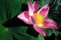 Pink water lily bloom around green leaf, composition on right side and a horizontal image. Royalty Free Stock Photos