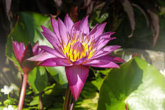 Pink water lily blooming in the lake Stock Photo