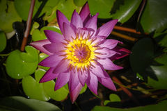 Pink water lily blooming in the lake Stock Images