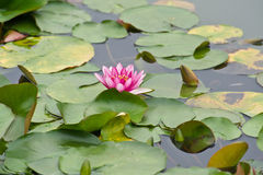 Pink Water Lily Blossom. Blossom of a pink Water Lily surrounded by green leafs stock photography