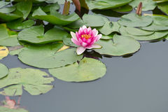 Pink Water Lily Blossom. Blossom of a pink Water Lily surrounded by green leaves Royalty Free Stock Photography