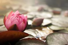 pink water lily blossom on pond with lotus leafs in bright sunny light mood stock photography
