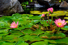 Pink Water Lily blossoms. Botanical garden in Maui beckons with blooming water lilies. What is difference between lotus and water lily? The leaves of lotus are royalty free stock images
