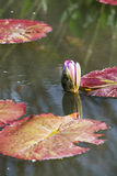 Pink Water Lily Blud Vertical Nymphaeaceae Royalty Free Stock Image