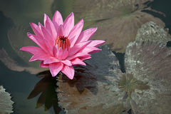 Pink water lily with brown leaves on the surface of a pond close Royalty Free Stock Photography