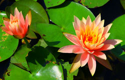 Pink water Lily and bud Royalty Free Stock Image