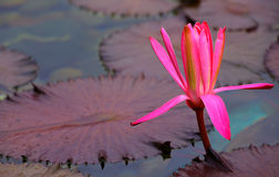 Pink water lily bud Stock Photography