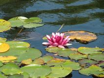 Pink water lily - child of the sun royalty free stock image