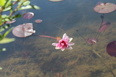 Pink water lily in clear pond with lily pads Royalty Free Stock Images