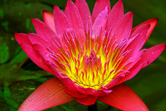 Pink water lily close up Royalty Free Stock Photos