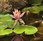 Pink Water Lily with Dragon Fly Royalty Free Stock Photography