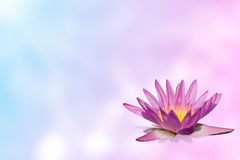 Pink water lily  on expandable blur background Royalty Free Stock Photo