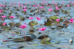 Pink water lily field in the pond. Pink water lily field in swamp water pond in clear sunny day Stock Image