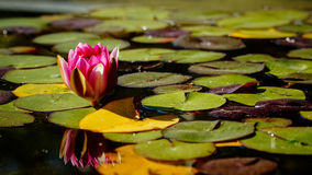 Pink water lily floating among bright green leaves Stock Photography