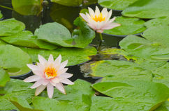 Pink Water Lily with floating leaves Royalty Free Stock Photos
