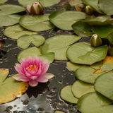 Pink Water Lily. Flower amongst green lily pads in a pond Royalty Free Stock Images