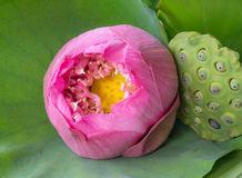 Pink water lily flower background. Pink water lily with yellow pollen and green torus Stock Photo