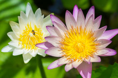 Pink water lily flower. Beautiful pink water lily flower Stock Photography