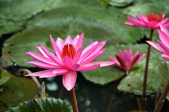 Pink water lily flower Stock Photography