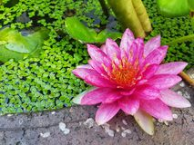 Pink Water Lily. Flower blooming in pond royalty free stock image