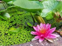 Pink Water Lily. Flower blooming in pond royalty free stock photo