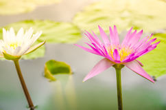 Pink water lily flower blooming in pond Royalty Free Stock Photos