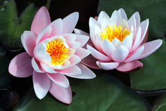 Pink water lily flower blossom in crystal clear lake at summerti Royalty Free Stock Photography