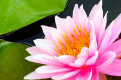 Pink water lily flower Stock Image