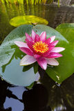 Pink Water Lily Flower Closeup Royalty Free Stock Images