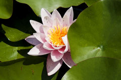Pink water-lily Stock Photos