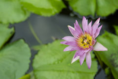 Pink Water Lily Flower Growing in Pond Stock Photos