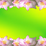 Pink water lily flower (lotus) Stock Photography