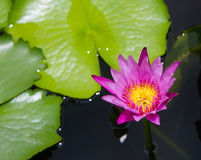 Pink water lily flower (lotus) Royalty Free Stock Photo