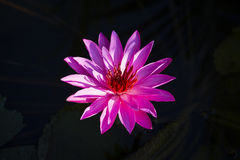 Pink water lily flower. Lotus flower in island Bali, Indonesia. Close up Royalty Free Stock Photography