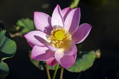 Pink water lily flower. Lotus flower in island Bali, Indonesia. Close up Stock Photo