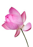 Pink water lily flower (lotus) isolated, Clipping path Stock Images