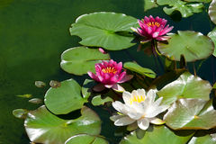 Pink water lily flower royalty free stock photography
