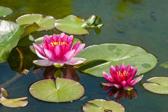 Pink water lily flower royalty free stock images