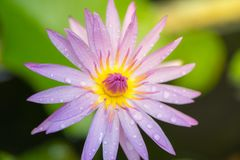 Pink water lily flower or lotus. Purple water lily flower or lotus flower Stock Photo