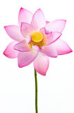 Pink water lily flower (lotus) and white backgroun Stock Images