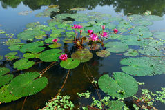 Pink Water Lily Flower in pond. An isolated shot of a pink Water Lily Flower growing in pond Stock Image