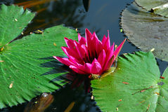 Pink Water Lily Flower in pond Royalty Free Stock Photos
