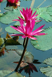 Pink Water Lily Flower in pond. An isolated shot of a pink Water Lily Flower growing in pond Royalty Free Stock Images