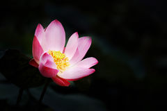 A pink water lily flower rises out of a pond while surrounded b Stock Images