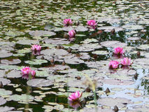 PINK WATER LILY FLOWERING IN THE POND,. FLOWERS AND BUDS, AREA OF THE FOREST ARBORETUM Royalty Free Stock Images