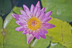 Pink water lily flowers blooming on pond Royalty Free Stock Photos