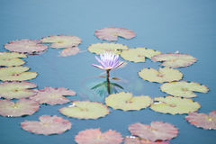 Pink water lily flowers blooming on pond Stock Images